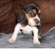Beagle puppy for loving homes