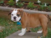 ADORABLE BULLDOG FOR SALE